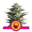 Amnesia Haze (Royal Queen Seeds) féminisée