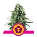 Power Flower (Royal Queen Seeds) féminisée