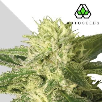Auto 1 (Auto Seeds) féminisée
