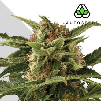 Auto Pounder (Auto Seeds) féminisée