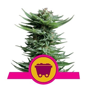 Shining Silver Haze (Royal Queen Seeds) féminisée