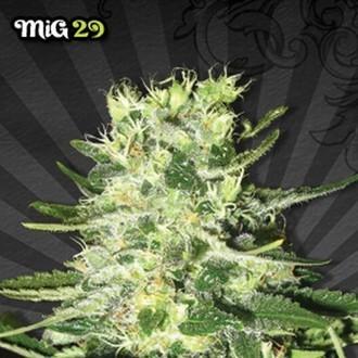 Mig 29 (Auto Seeds) féminisée