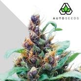 Purple Stilton (Auto Seeds) féminisée