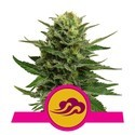 Blue Mystic (Royal Queen Seeds) féminisée