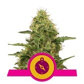 Northern Light (Royal Queen Seeds) féminisée