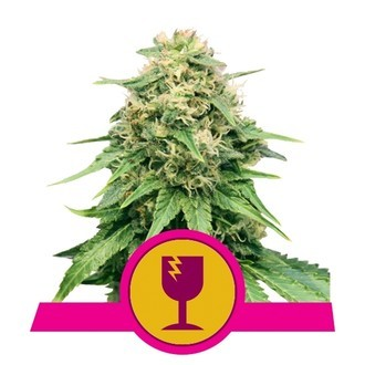 Critical (Royal Queen Seeds) féminisée