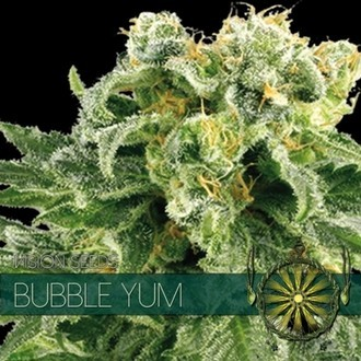 Bubble Yum (Vision Seeds) féminisée
