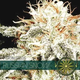 Russian Snow (Vision Seeds) féminisée