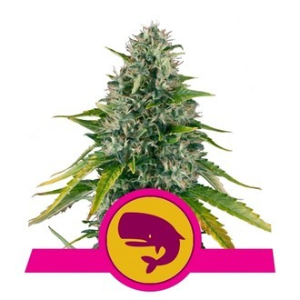 Royal Moby (Royal Queen Seeds) féminisée