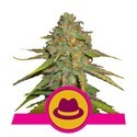 O.G. Kush (Royal Queen Seeds) féminisée