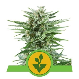 Easy Bud (Royal Queen Seeds) féminisée