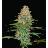 Silver Kush (Reserva Privada) féminisée