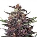 Buddha Purple Kush Auto (Buddha Seeds) féminisée
