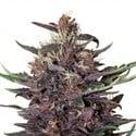Buddha Purple Kush (Buddha Seeds) féminisée
