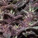 Purple Kush Auto (Buddha Seeds) féminisée