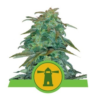 Royal Haze Automatic (Royal Queen Seeds) féminisée