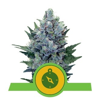 Northern Light Automatic (Royal Queen Seeds) féminisée