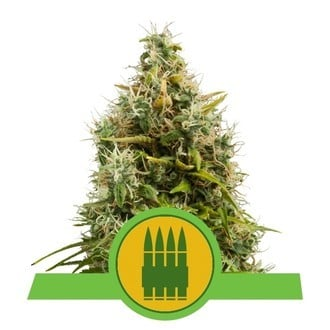 Royal AK Automatic (Royal Queen Seeds) féminisée