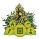 Autofloraison Mix (Royal Queen Seeds) féminisée