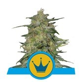 Royal Highness (Royal Queen Seeds) féminisée