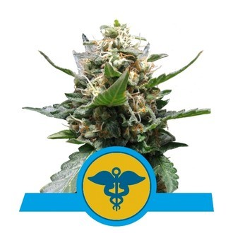 Royal Medic (Royal Queen Seeds) féminisée