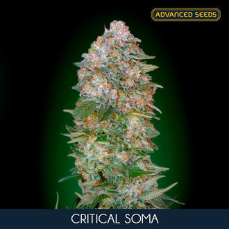 Critical Soma (Advanced Seeds) feminisée