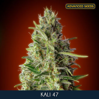 Kali 47 (Advanced Seeds) feminisée