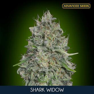 Shark Widow (Advanced Seeds) féminisée