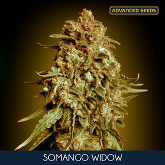 Somango Widow (Advanced Seeds) feminisée