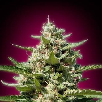 White Kush (Advanced Seeds) féminisée
