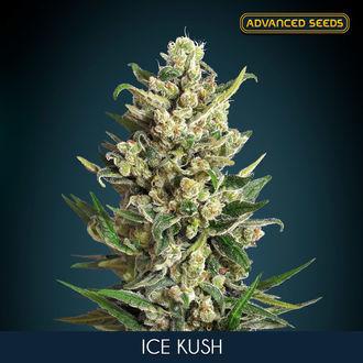 Ice Kush (Advanced Seeds) feminisée