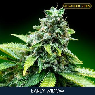 Early Widow (Advanced Seeds) feminisée
