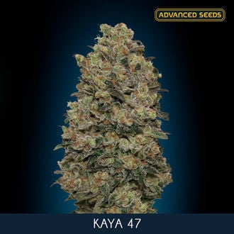 Kaya 47 (Advanced Seeds) féminisée