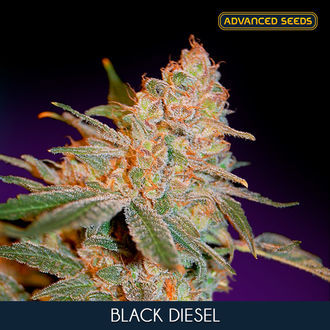 Black Diesel (Advanced Seeds) feminisée