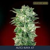 Auto Kaya 47 (Advanced Seeds) feminisée