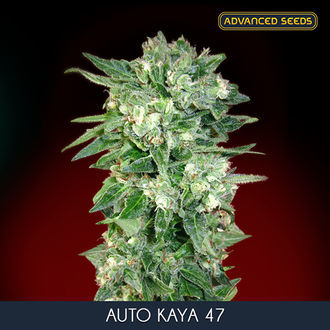 Auto Kaya 47 (Advanced Seeds) feminisée