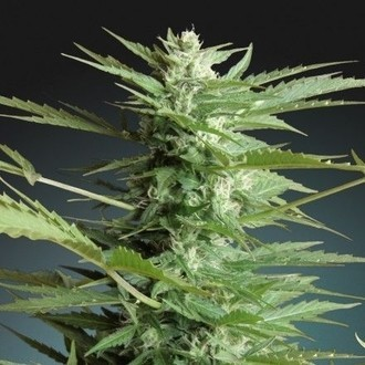 Auto Sweet Dwarf (Advanced Seeds) feminisée