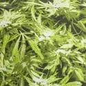 Military Cap Cannabis Print