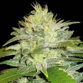La Musa (Delicious Seeds) femminizzata