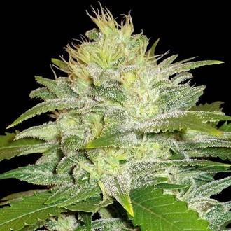 La Musa (Delicious Seeds) féminisée