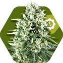 Super Silver Haze Autoflowering (Zambeza) féminisée