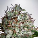 Big Bud XXL (Ministry of Cannabis) féminisée