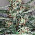 Crystal Cloud (Ministry of Cannabis) féminisée