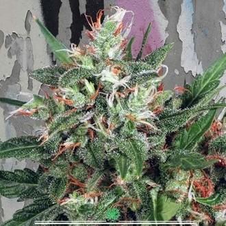 Early XXX (Ministry of Cannabis) féminisée