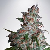 Northern Lights MOC (Ministry of Cannabis) femminilizzata