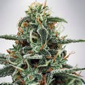 White Widow (Ministry of Cannabis) féminisée