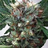 Zensation (Ministry of Cannabis) féminisée