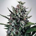 Auto Silver Bullet (Ministry of Cannabis) féminisée