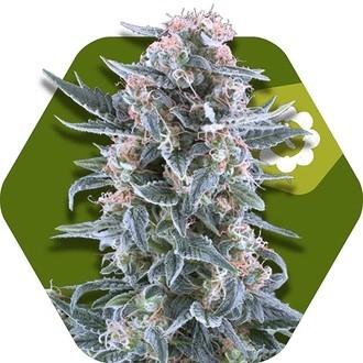 Blueberry Autoflowering (Zambeza) féminisée