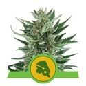 Royal Cheese Automatic (Royal Queen Seeds) féminisée
